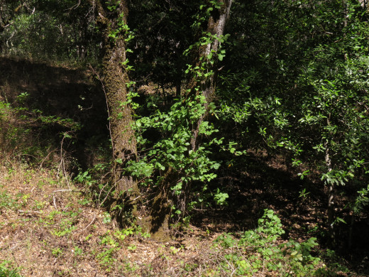 Poison oak growing beneath real oak trees