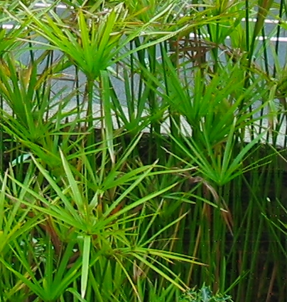 Cyperus alternifolius the Umbrella Sedge