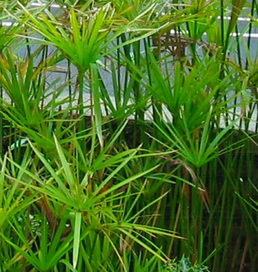 Cyperus alternifolius the Umbrella Sedge