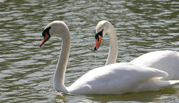 Dairyland Farmworld: Visitor Attraction, Newquay.  Feed the swans in the pond.