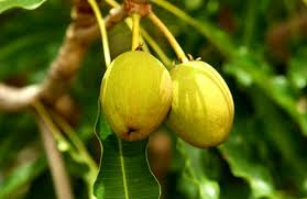 Shea Fruit helps treat joint pain naturally