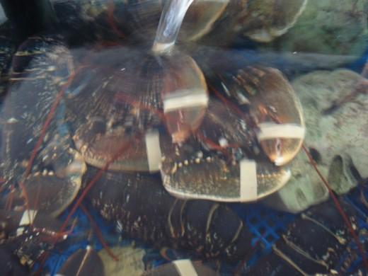 L'Ampolla, Spain - Seafood Market - Lobster