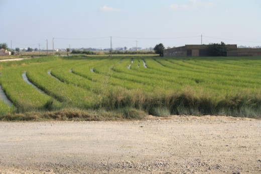 Rice Fields - L'Ampolla, Spain
