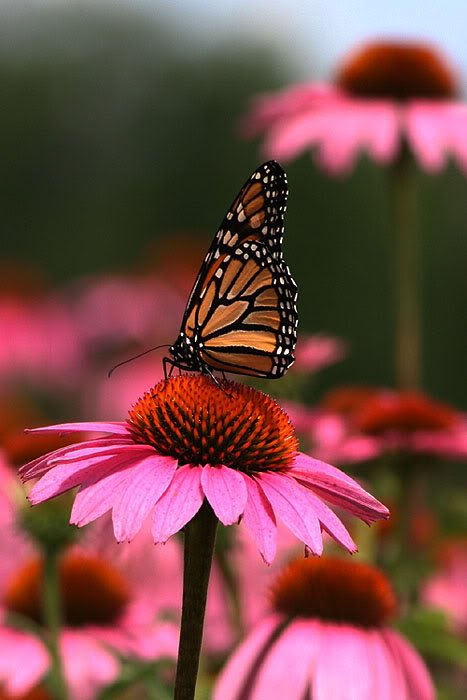 Purple coneflower (Echinacea) with butterfly. Butterflies love these flowers!