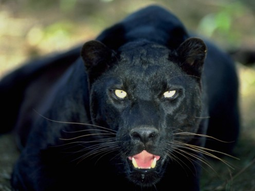 Angry woman often can behave as wild panther
