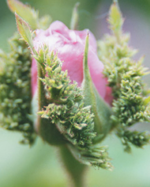 A bud of the crested moss rose, Chapeau de Napoleon, with its frilly mossed sepals