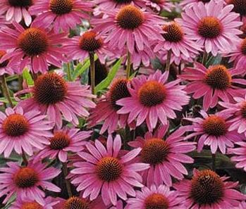 Echinacea (Purple Coneflower) blooms