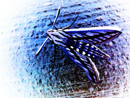 An amazing moth on my balcony