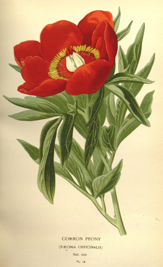 'Favourite flowers of garden and greenhouse' {1896-97}