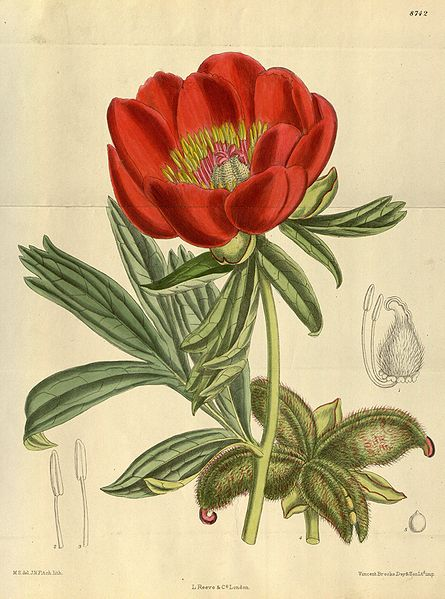 Illustration taken from Curtis's Botanical Magazine courtesy of Franz Xaver