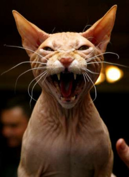 'The Most Evil Cat Ever from Nizur