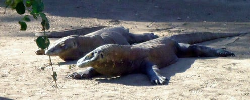 Picture of Komodo Dragons in Rinca, Indonesia