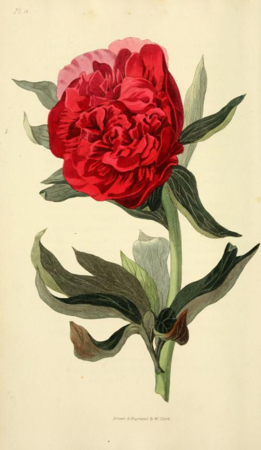 Taken from Flora conspicua {1826}
