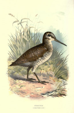 'Familiar wild birds ' Swayland 1883