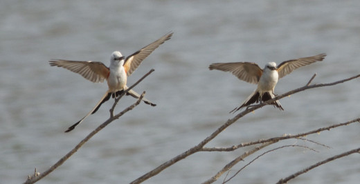 Scissor-tailed Flycatchers(the one on the right has a cicada in its mouth)