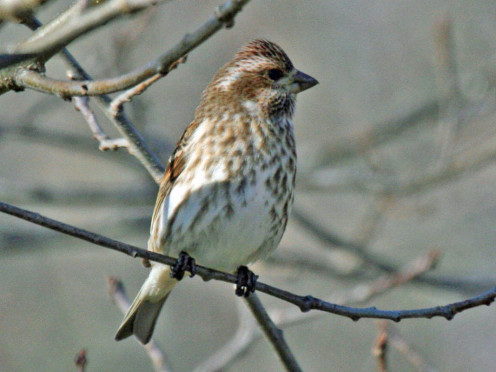 Female Purple Finch (Carpodacus purpureus) - Virginia (See capsule 'Colors and Patterns')