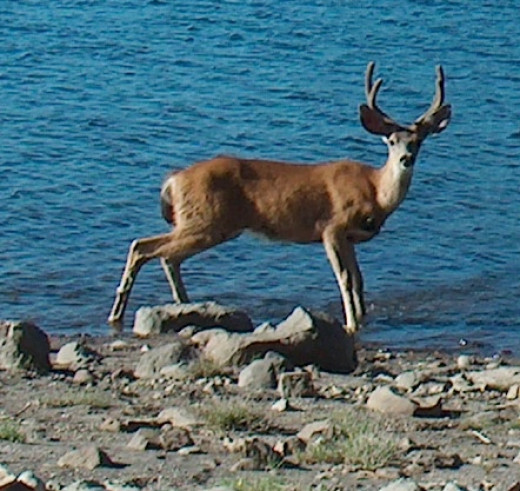 Deer along the shore of Snag Lake