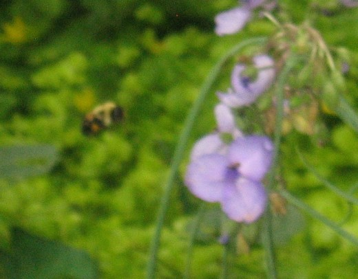 Bumble bee hovering.