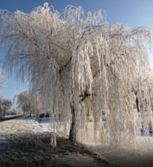 Weeping Willow tree in winter - photo provided by Arborday.org