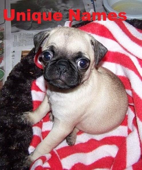 Unique Dog Names for a Pug