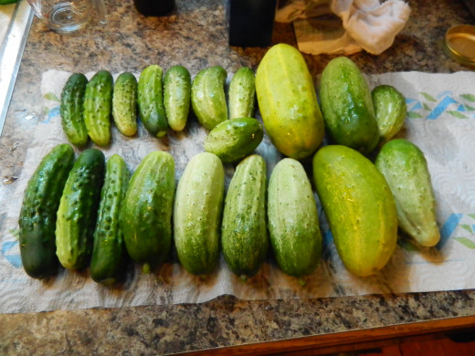 My first harvest June 24th. 23 pickles destined for the jars!