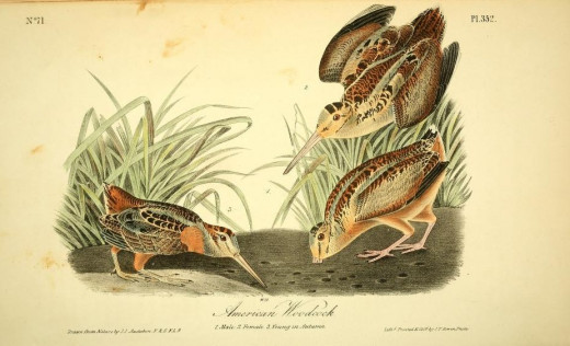 John James Audubon-Birds of America