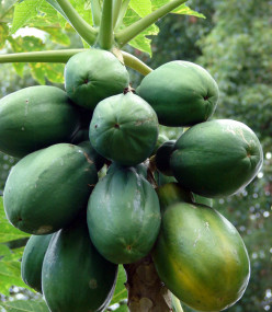 Health Benefits And Beyond Within The Fruit Papaya