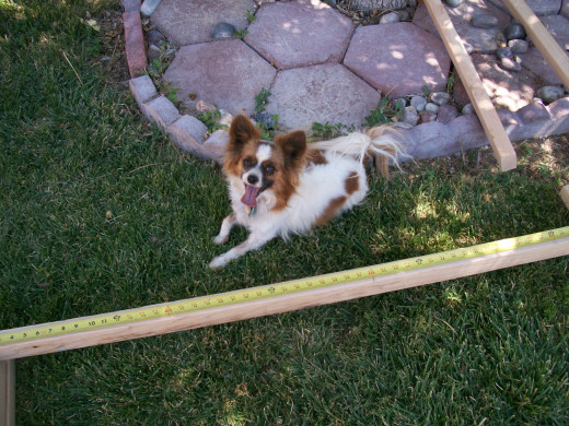 Bella reminding me that those numbers marked in red on my tape measure will give me the 16 inch center locations.