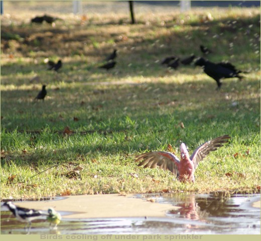 Caught this Galah cooling off under the sprinkler