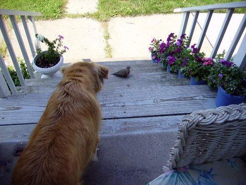 Beffy and a dove