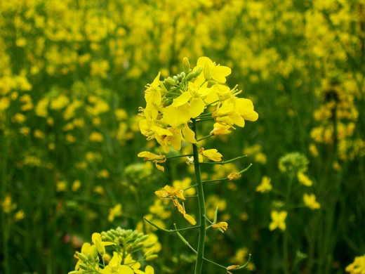 There are several types of mustard plant that make seeds useful for making mustard.