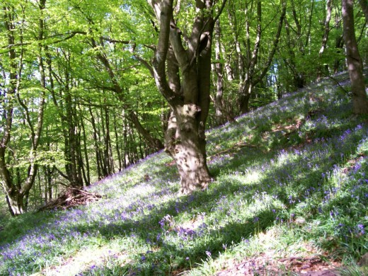 Ancient Harran Hill Wood - known locally as the 'blue bell woods' gently slopes down to meet the hedgerows of the old pit road.