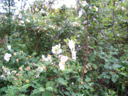 The Dog Rose a very beautiful and fragrant part of the hedgerow.