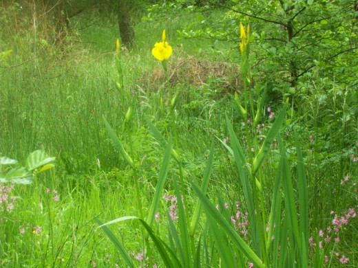 A stunning Yellow Iris found on a small marshy area along one of the wooded nature trails at Lochore Meadows.