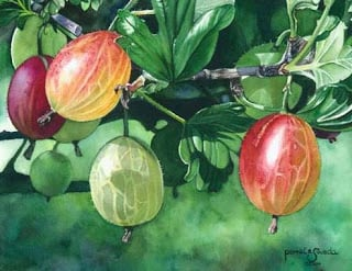 how to know when cape gooseberries are ripe