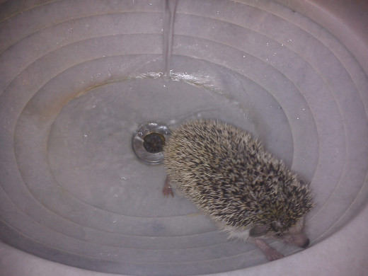 Temperate water is perfect to relax our hedgehog, making it easy in controlling of our pet.