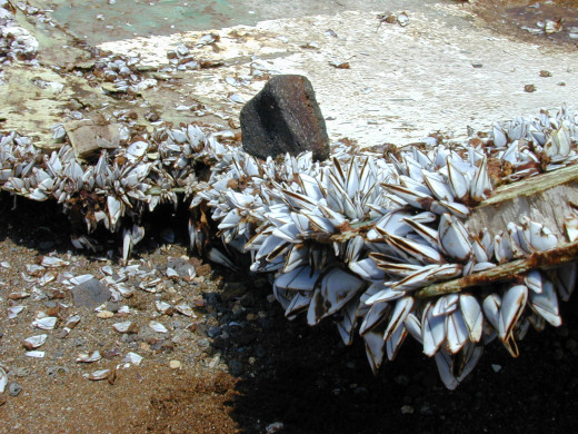These large barnacles found a home by attaching themselves to this piece of ocean debris.