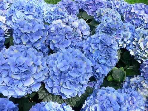 Hydrangeas have cool blue tones