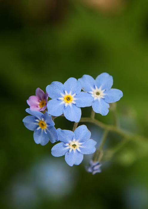 The exquisitely pretty Forget-me-not