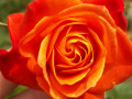 How To Keep Your Rose Bush Blooming  Spring, Summer and Fall