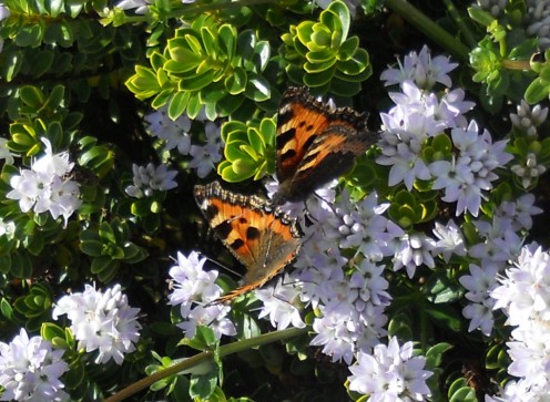 A pair of courting small tortoiseshell butterflies rest on a flowering shrub