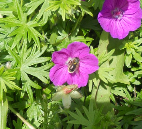 A tiny bee in a cranesbill flower