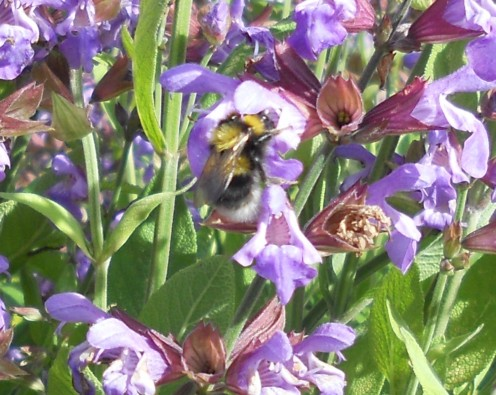 A bumblebee enjoys the sage flowers