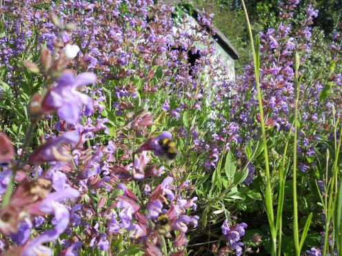 The herb garden - a haven for bees