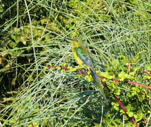 A very elegant Malachite Sunbird