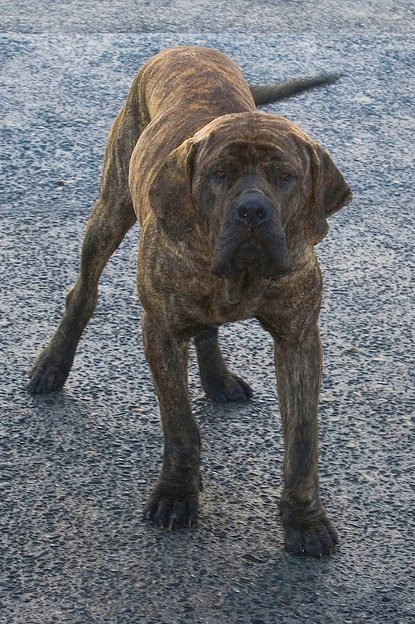 When a Fila Brasileiro is older, she will be ready to guard.