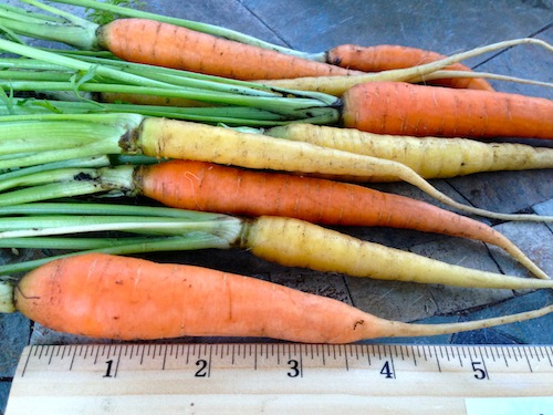 """Sunshine Orange and Yellow"" carrots  can be harvested early (like these) or grown about 2 inches longer.."