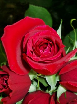 The Blind Man And The Scarlet Rose
