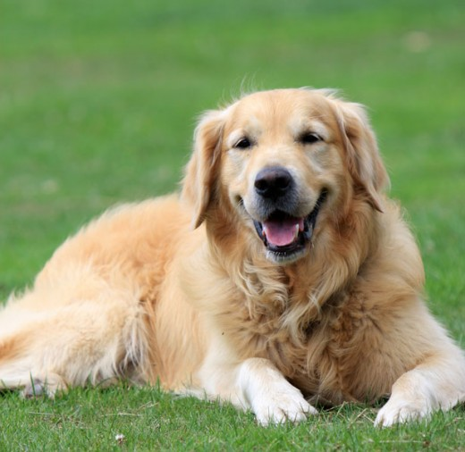 Between 60-80% of all golden retrievers will die from some form of cancer