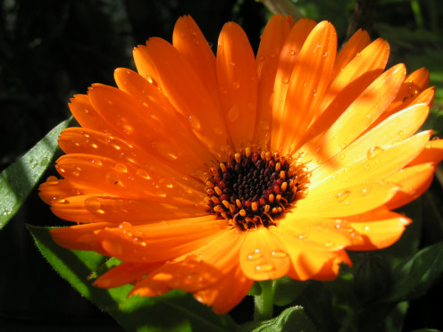 also known as marigold is widely grown and the most popular one cultivated for cosmetic and herbal use is  Calendula officinalis.